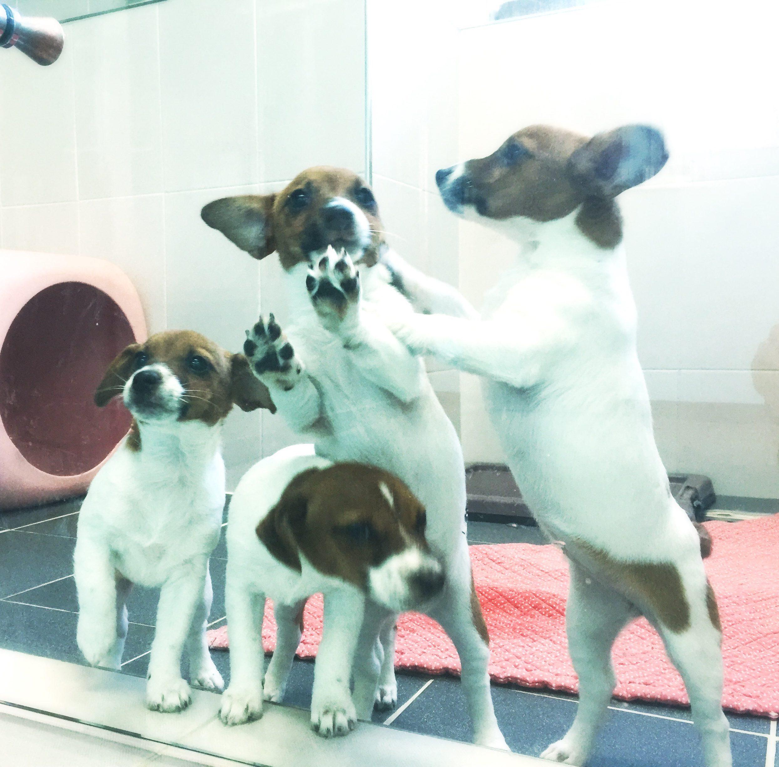 cane clonato jack russel